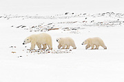 Polar bear (Ursus maritimus) sow and two cubs walking on the frozen tundra along the Hudson Bay coastline<br />