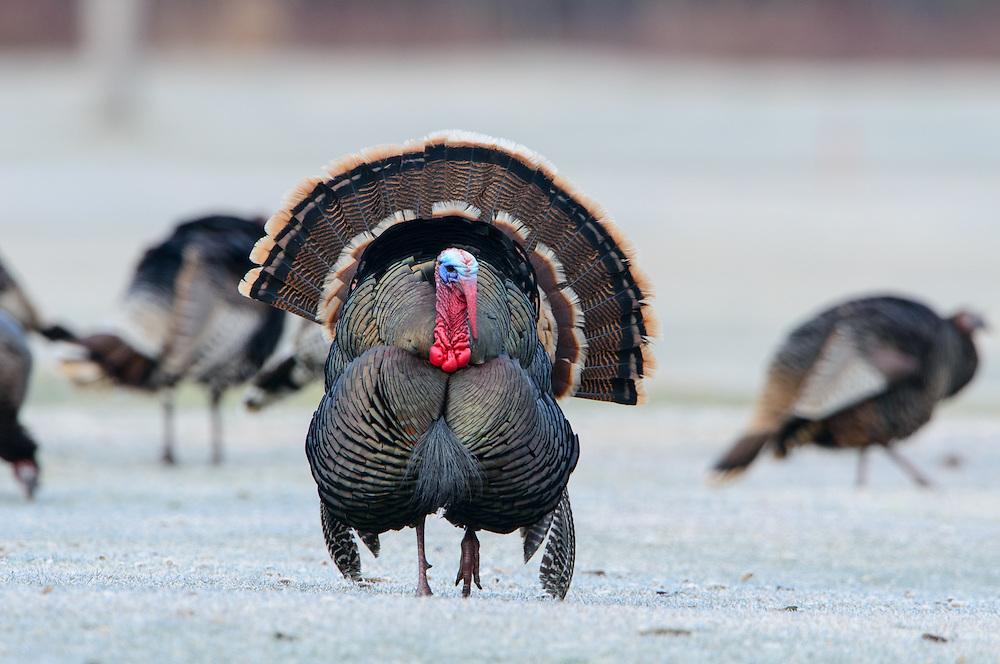 Wild Turkey, Western Montana