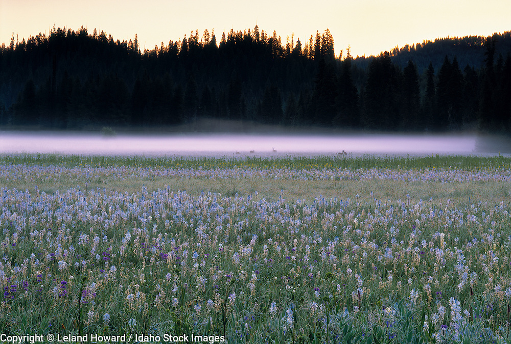 Idaho, north central.  Deer in Musselshell Meadows, a Nez Perce National Historic site.  Floral is mainly Camas (Camassia quamash).
