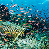 A traditional bamboo fishing trap sits on a coral reef in Indonesia. Subsistance fishing can still have a large impact on marine ecosystems, yet is little studied and often overlooked.