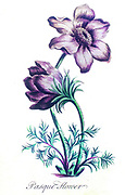 Hand colored botanical engraving Pulsatilla vulgaris (pasque flower, pasqueflower)
