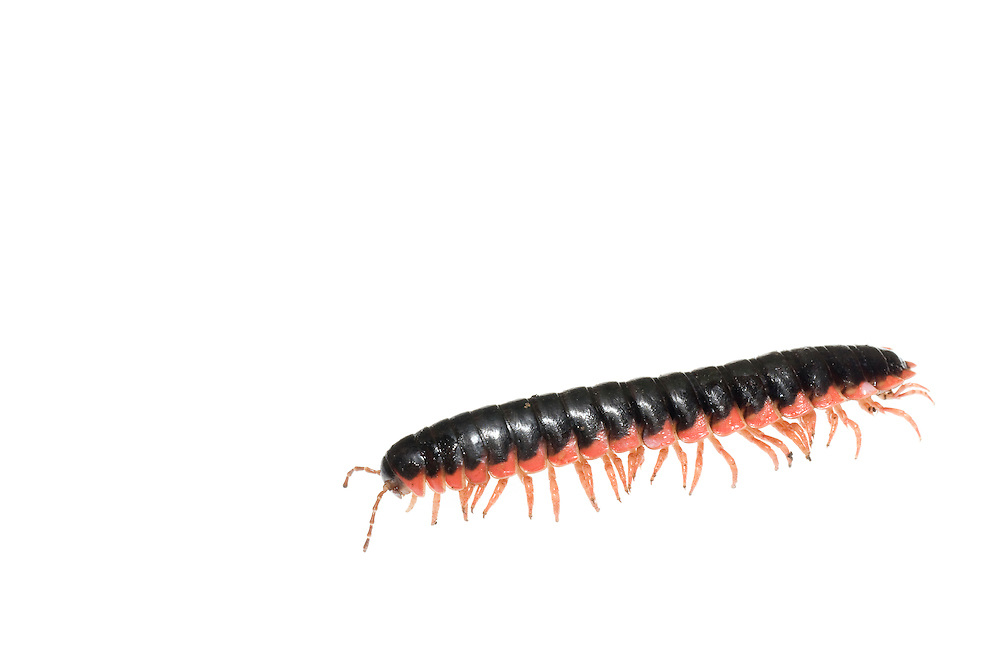 Red-Sided Flat Millipede (Sigmoria aberrans)
