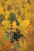Fall aspens in the San Juan Mountains, Uncompahgre National Forest, Colorado USA