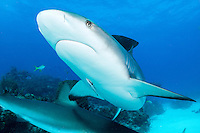 Caribbean Reef Shark<br /> <br /> Shot in Bahamas