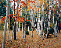 Birch and maples trees with autumn color.