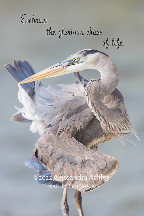 Great blue heron appears to twist self into a knot while preening feathers.
