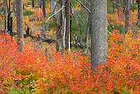 Vine Maples (Acer circinatum) blazing in red and orange near Santiam Pass Oregon