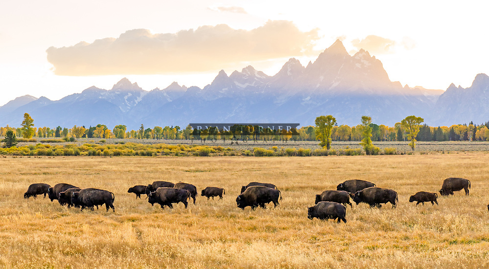 A herd of Bison walk across a field along the Tetons.  Limited Edition - 150