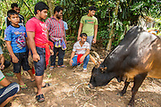 03 NOVEMBER 2012 - HAT YAI, SONGKHLA, THAILAND:  Men look at a Thai fighting bull before a bullfight at the bullfighting arena in Hat Yai, Songkhla, Thailand. Bullfighting is a popular past time in southern Thailand. Hat Yai is the center of Thailand's bullfighting culture. In Thai bullfights, two bulls are placed in an arena and they fight, usually by head butting each other until one runs away or time is called. Huge amounts of mony are wagered on Thai bullfights - sometimes as much as 2,000,000 Thai Baht ($65,000 US).     PHOTO BY JACK KURTZ