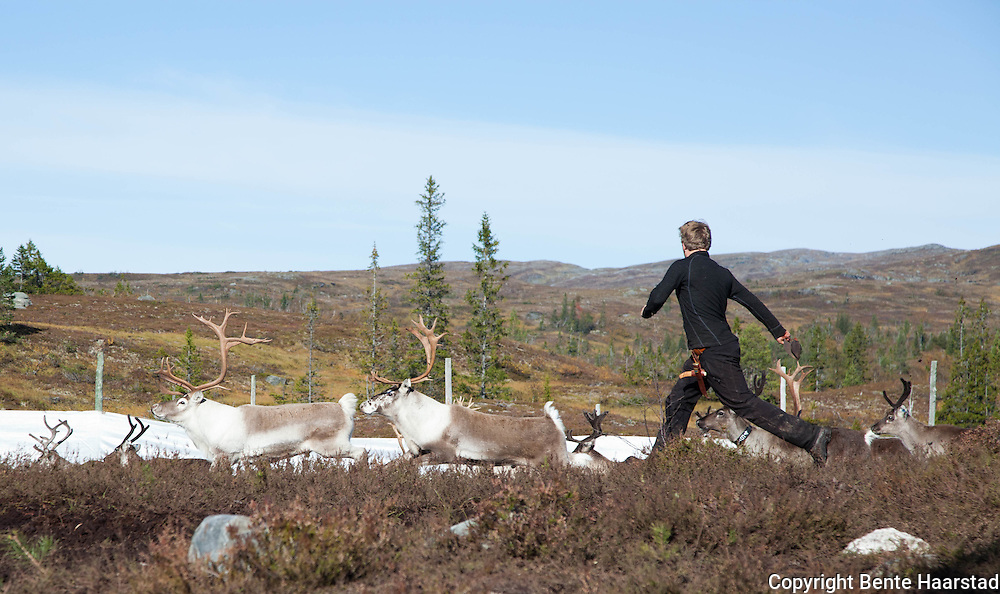 Collecting the reindeers to see who will be slaughtered and who will be let loose in the mountains again.