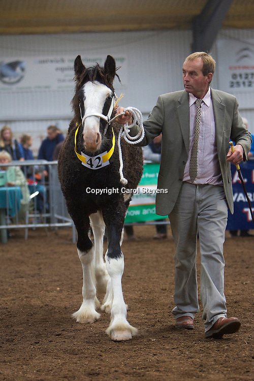 North West and Wales Shire Foal Society Show 2012<br /> O C Whittaker's Knutsford Asterix   f 10/05/12<br /> Sire   Ithersay Joseph   Dam  Knutsford Ebony<br /> 4th Place   Colt Foal Class