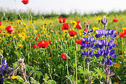 Israeli wildflowers - Red Corn Poppy (Papaver subpiriforme), Blue Lupine (Lupinus pilosus) and Crown Daisy (Chrysanthemum coronarium)