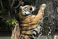 Tiger, Tiger Kingdom, Chiang Mai, Thailand