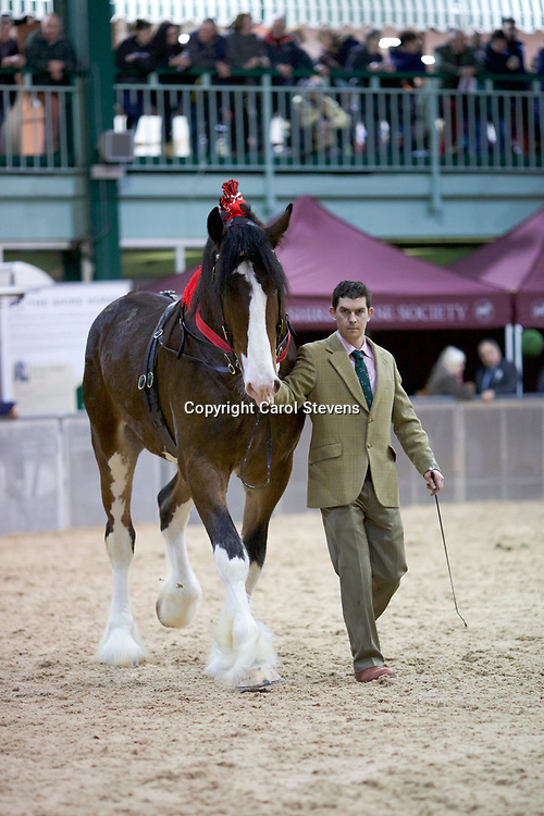 Shire Horse Society Spring Show 2017   Class 17  3 Year Old Stallions