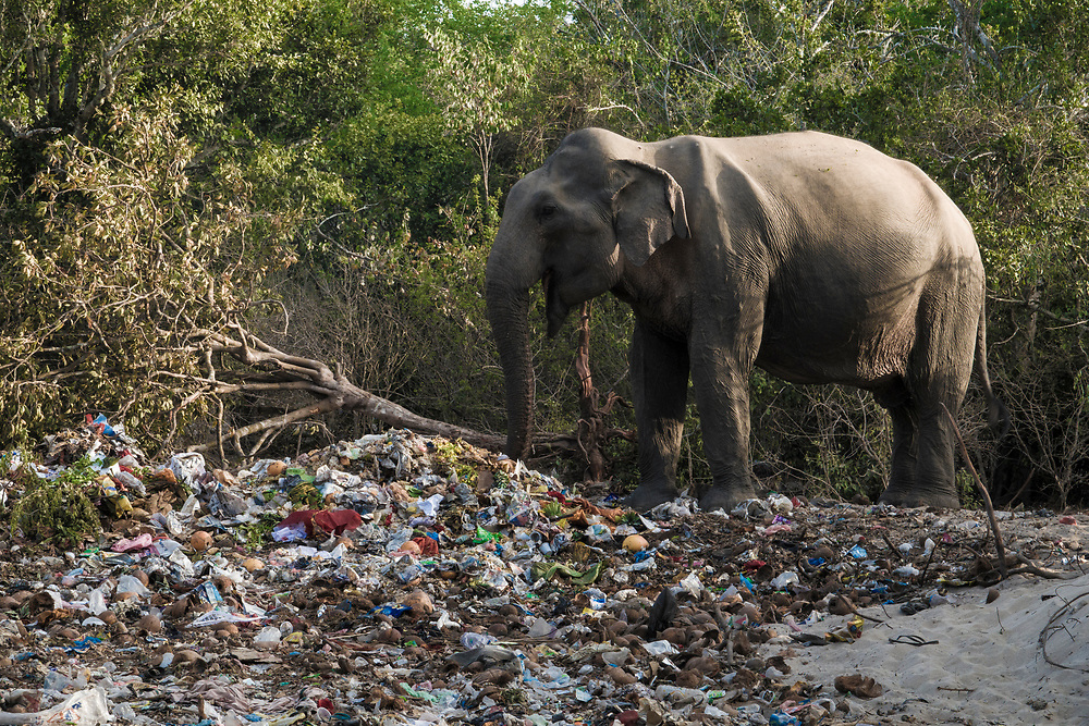Elephant eating from pile of trash left by temple celebrations at Okanda beach, Sri Lanka
