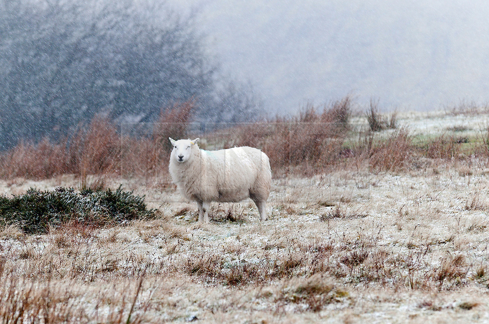 © Licensed to London News Pictures. 12/01/2017. Builth Wells, Powys, Wales, UK. Sheep are seen as the snow starts to fall on the high moorland of the Mynydd Epynt range near Builth Wells in Powys, Mid Wales, UK. Photo credit: Graham M. Lawrence/LNP