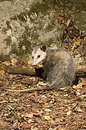 Virginia Opossum (Didelphis virginiana)<br /> TEXAS: Travis Co.<br /> Brackenridge Field Laboratory; Austin<br /> 5-Nov-2008<br /> J.C. Abbott<br /> photographed with trap camera