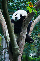 one Panda bear Bifengxia base reserve Sichuan China
