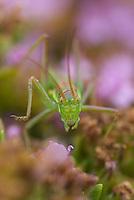 Buch-crickets, Conocephalus, Southwest Alentejo and Vicentine Coast Natural Park, Portugal