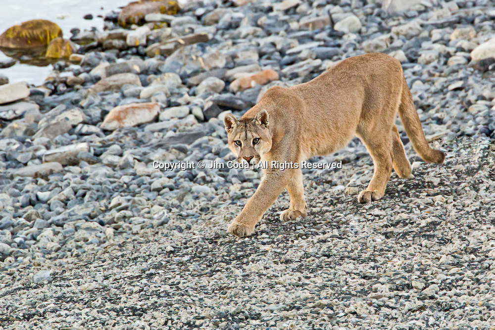 A young male puma walks along the shore of a lake in Torres del Paine National Park.