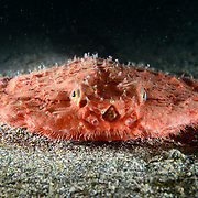 Frontal view of a minipizza batfish (Halieutaea stellata) that has settled on the ocean floor after being released from a fishing net. These ood-looking fish are usually found between 50m and 400m depth.
