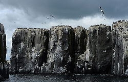© Licensed to London News Pictures. 30/06/2016. Farne Islands, UK. Hundreds of seabirds nest on cliffs on the Farne Islands, Northumberland. Between mid-April and late July the Farne Islands are home to over 100,000 pairs of breeding seabirds including puffins, kittiwakes, terns and cormorants.  Photo credit: Anna Gowthorpe/LNP