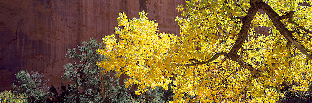 Cottonwood against Red Rock Wall