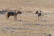 Golden jackals (Canis aureus) in Bandhavgarh National Park, Madhya Pradesh, India.