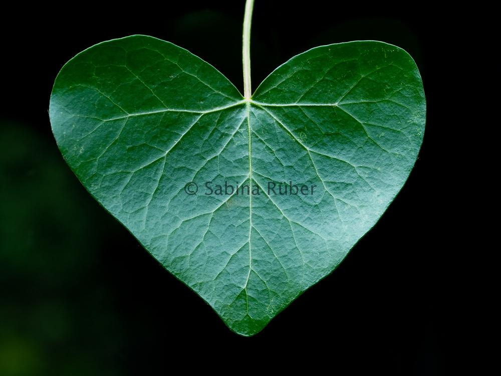 Hedera - heart shaped ivy leaf