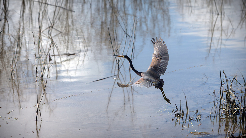 BLUFFTON, S.C. - FEBRUARY 20, 2018:<br /> A tricolored heron takes flight off the bank of a levee at the Savannah National Wildlife Refuge. (WABE Photo/Stephen B. Morton)