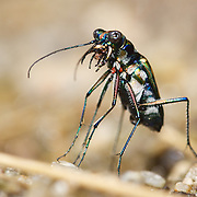 Tiger Beetle (Cosmodela aurulenta juxtata). Chaloem Phrakiat Thai Prachan National Park, Thailand.