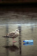 A seagull stands on the frozen Schinkel canal/river in Amsterdam, beside a discarded plastic bottled water container.
