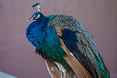 Peafowl Research