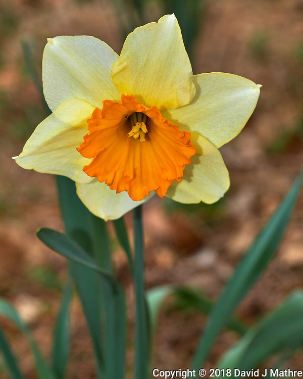 Daffodil Flower. Image taken with a Fuji X-H1 camera and 60 mm f/2.4 macro lens (ISO 200, 60 mm, f/5.6, 1/125 sec).