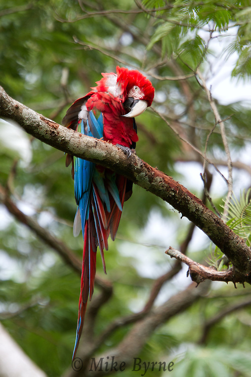 Blue and Green Macaw in a tree (Mato Grosso, Brazil)
