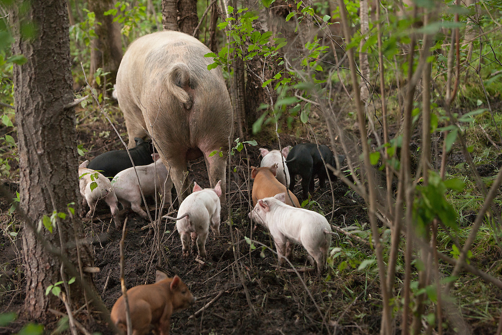 Sow and her pigglets in the woods