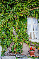 Close-up of vine covered wall and window on a house in France.