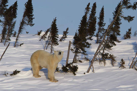 Female polar bear traveling towards Hudson Bay passes through a spruce forest in Wapusk National Park, Manitoba, Canada
