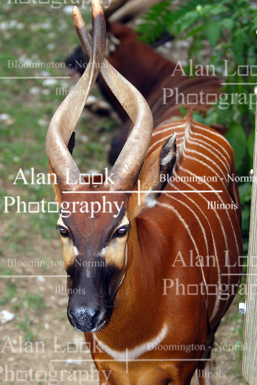 03 July 2006  A quick vacation through Iowa to Omaha.  Bongo (Tragelaphus euryceros). (Photo by Alan Look)