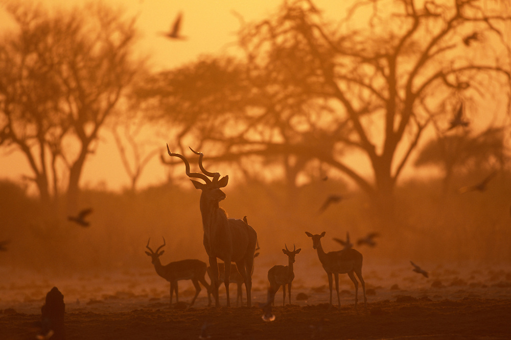 Botswana, Chobe National Park, Greater Kudu (Tragelaphus strepsiceros) and Impala herd at water hole in Savuti Marsh at dawn