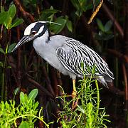Yellow-crowned Night Heron