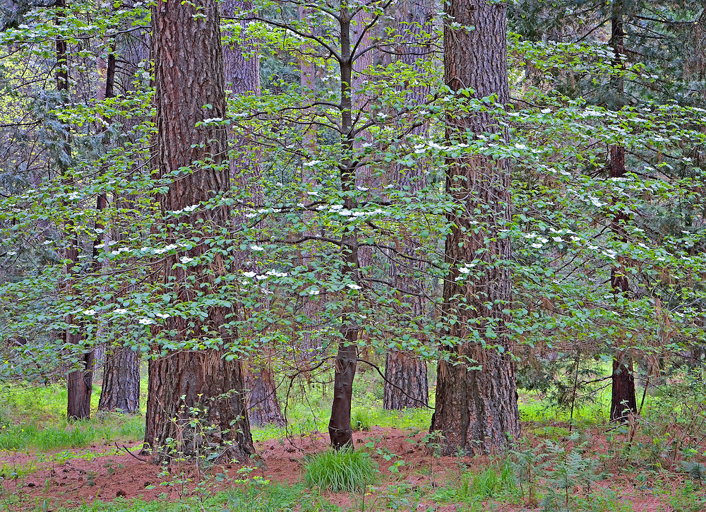 bloosoming dogwood tree in ponderosa pine forest, Yosemite National Park, CA.