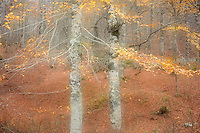Common beech forest (Fagus sylvatica), Basilicata/Calabria, Pollino National Park, Italy. November 2008. Mission: Pollino National Park; double exposure