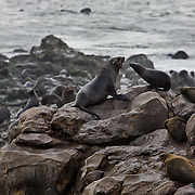 Seals lounge on boulders at the Cape Cross seal reserve along the Namib coast. The reserve is a breeding reserve for thousands of seals.
