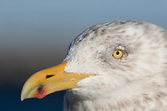 A close view of an immature gull's face