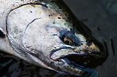 King (Chinook) Salmon Stock Photos