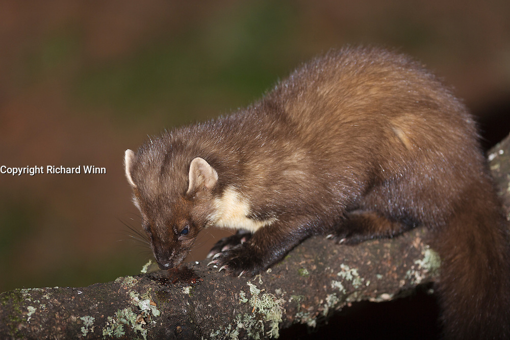 Pine Marten at a feeding station at the Aigas Field Centre