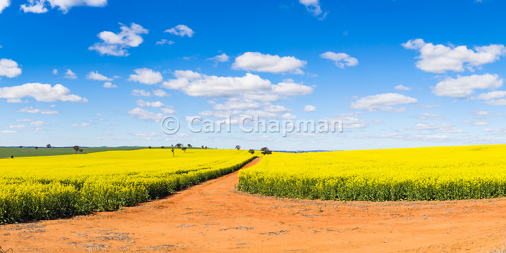 Canola field and dirt track under blue sky and cumulus clouds near Sebastopol, New South Wales, Australia