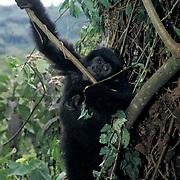 Mountain Gorilla, (Gorilla gorilla beringei)  Baby playing with vines. Volcanoes National Park.Rwanda. Africa.
