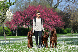 A dog walker enjoys the warm sunny weather surrounded by spring flowers in London's Regent Park.<br /> Tuesday, 1st April 2014. Picture by Ben Stevens / i-Images